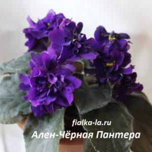 Ален-Черная  Пантера (Вольская А.)