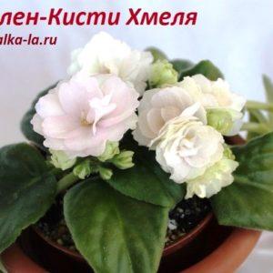 Ален-Кисти Хмеля (Вольская А.)