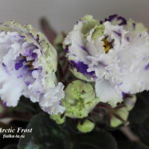 Arctic Frost (Sorano)
