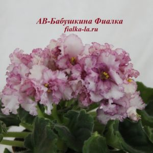 АВ-Бабушкина  Фиалка (Фиалковод)