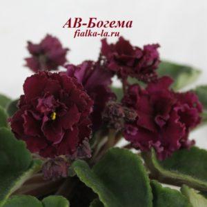 АВ-Богема (Фиалковод)