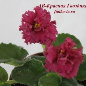 АВ-Красная  Гвоздика (Фиалковод)