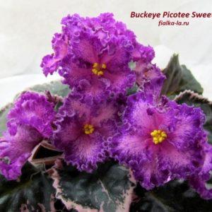 Buckeye Picotee Sweetheart (Hancock)