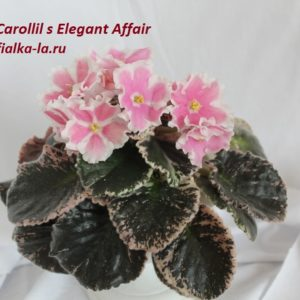 Carolil's Elegant Affair ( Abplanalp)