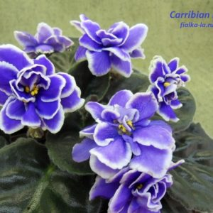 Carribean Blue (Sorano)
