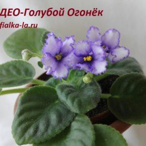 ДЕО-Голубой  Огонёк (Аксёнкина О.)