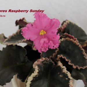 Dolores Raspberry Sundae (D.Harrington)
