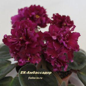 ЕК-Амбассадор (Коршунова Е.)