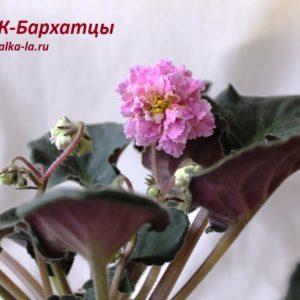 ЕК-Бархатцы (Коршунова Е.)