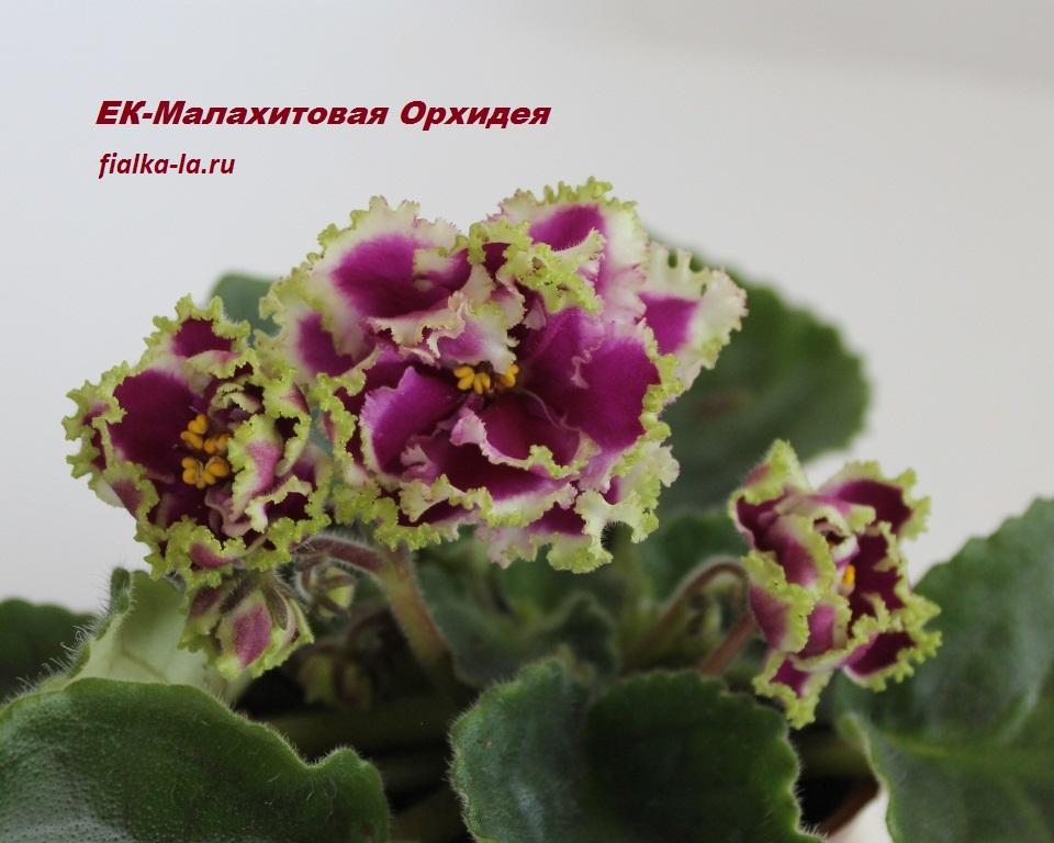 Фотографии пустоцвет у орхидеи древние колокола
