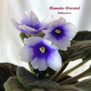 Humako Oriental (Humako)