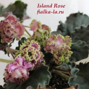 Island Rose (Sorano)