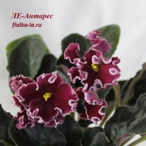 ЛЕ-Антарес (Лебецкая Е.)