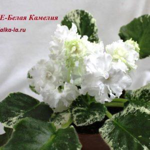 ЛЕ-Белая Камелия (Лебецкая Е.)