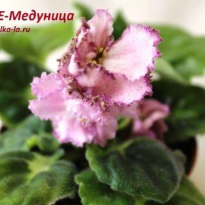 ЛЕ-Медуница (8-20) (Лебецкая Е.)