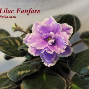 Lilac Fanfare (Sorano)