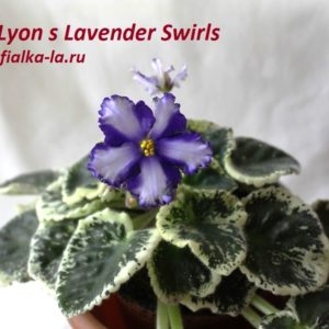 Lyon's Lavender Swirls (Sorano)