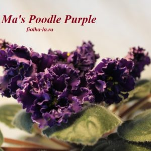 Ma's Poodle Purple