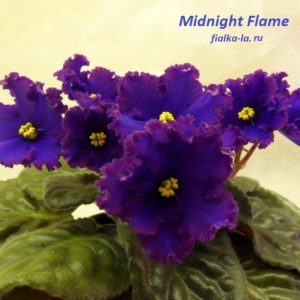 Midnight Flame (Johnson)