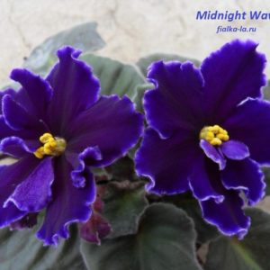 Midnight Velvet (Sorano)