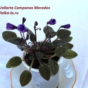 Vallarta Campanas Morados (G.Beck)