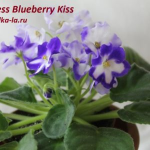 Nes's Blueberry Kiss