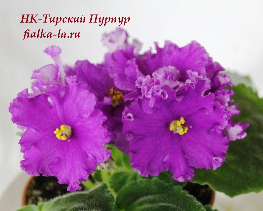хочу фиалка тирский пурпур фото отношения коронавирусу