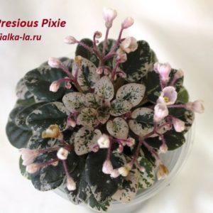 Presious Pixie ( Sorano)