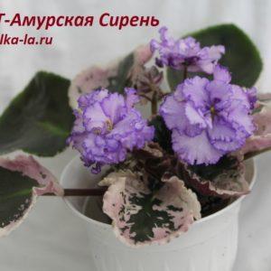ПТ-Амурская Сирень (Пугачёва Т.)
