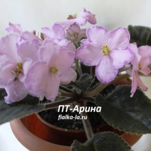ПТ-Арина (Пугачёва Т.)
