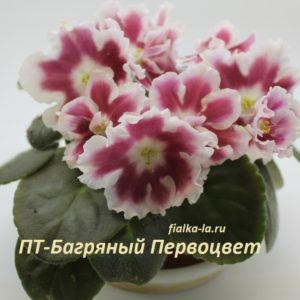 ПТ-Багряный Первоцвет (Пугачёва Т.)