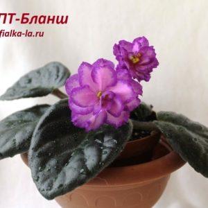ПТ-Бланш (Пугачёва Т.)