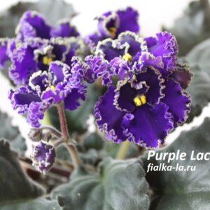 Purple Lace (Volkmann)