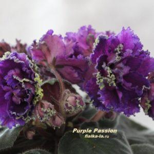 Purple Passion (Sorano)