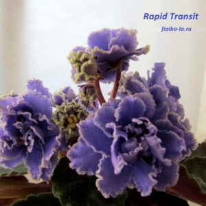Rapid Transit (Stork)