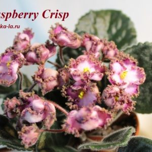 Raspberry Crisp (Sorano)