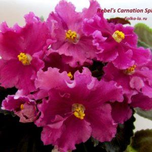 Rebel' Carnation Splash