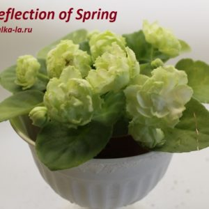 Reflection of Spring (LLG)