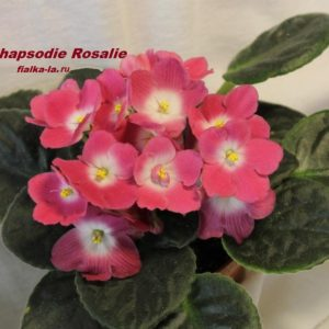 Rhapsodia Rosalie (Holtkamp)