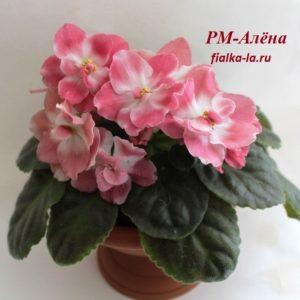 РМ-Алёна (Скорнякова Н.)