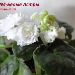 РМ-Белые Астры (Скорнякова Н.)