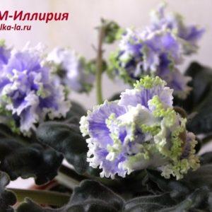 РМ-Иллирия (Скорнякова Н.)