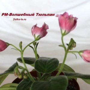 РМ-Волшебный Тюльпан (Скорнякова Н.)