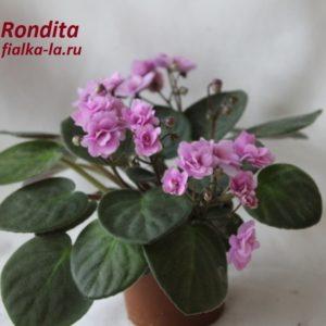 Rondita