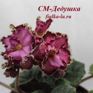 СМ-  Дедушка (Сеянец Морева К.)