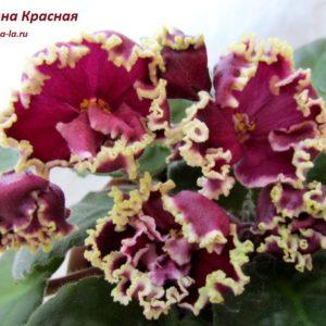 СМ-Калина Красная (Сеянец Морева К.)
