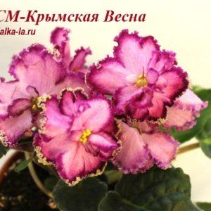 СМ-Крымская Весна (Сеянец Морева К.)