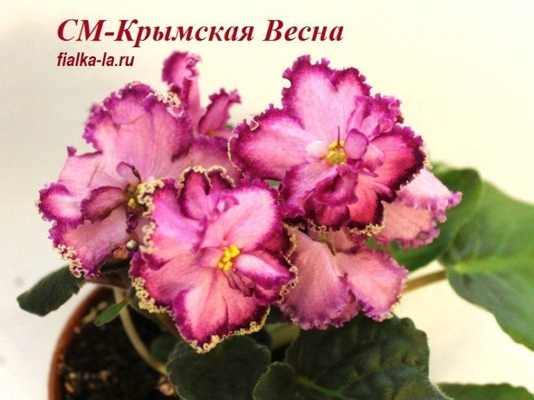 фиалка крымская весна морев фото собаки