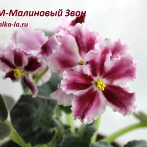 СМ-Малиновый Звон (Сеянец Морева К.)