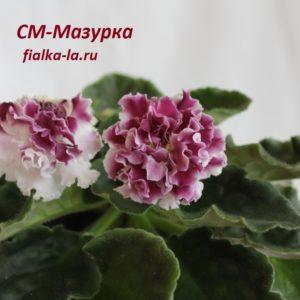 СМ-Мазурка (Сеянец Морева К.)